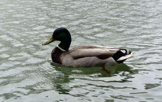wet_duck