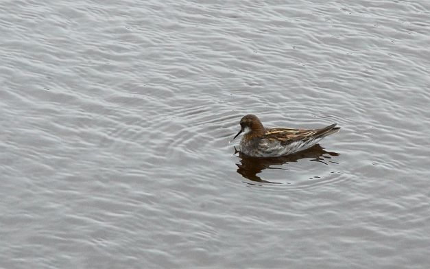 Male red-necked phalarope  (Phalaropus lobatus)