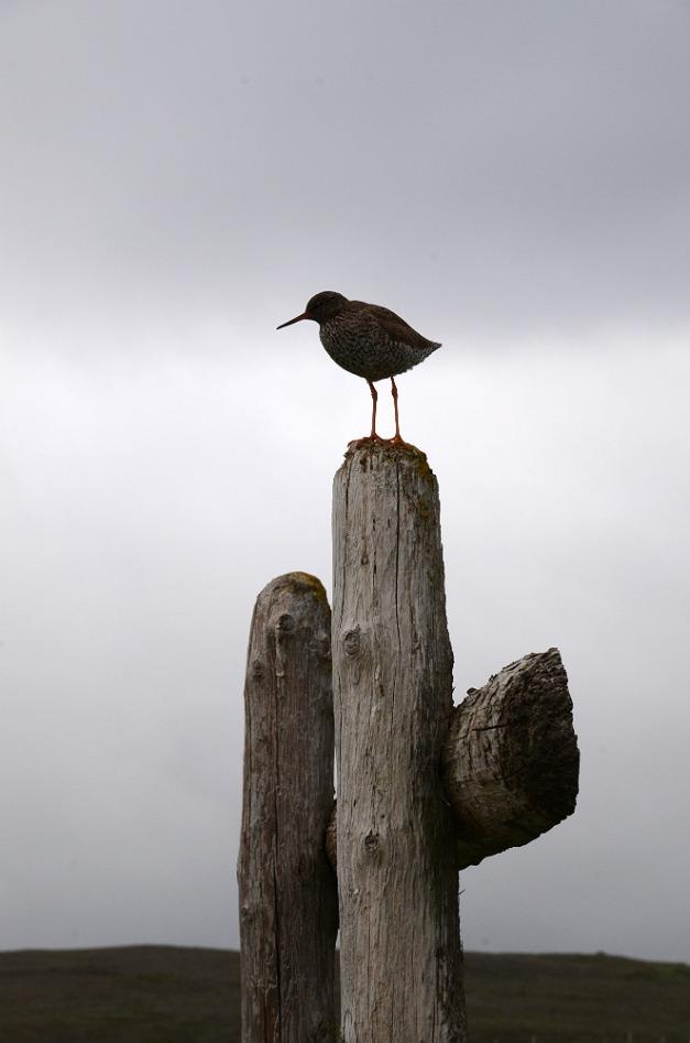 Redshank on guard