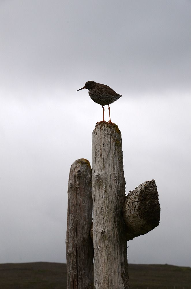 Redshank on guard