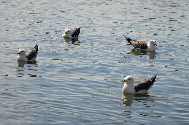 Swimming gulls