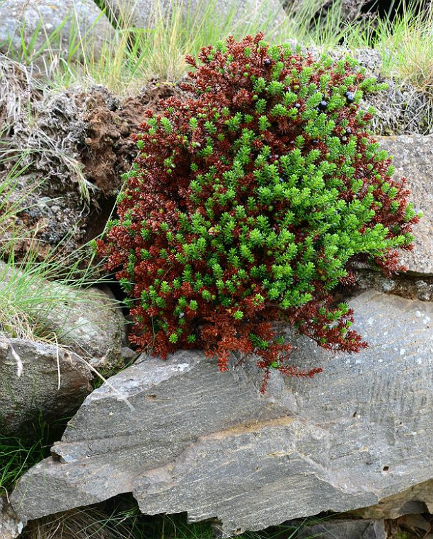 Empetrum nigrum: Crowberry bush