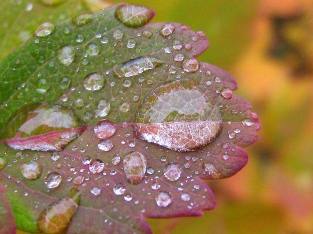 dew-leaf