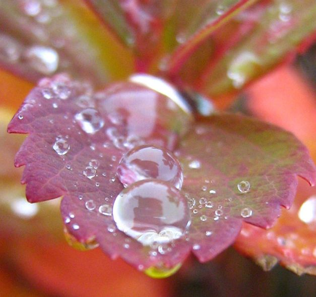 Droplets on an autumn leaf