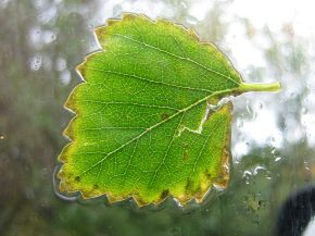 A fading birch leaf plastered on a car window.