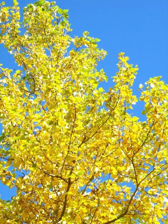 Autumn poplar.