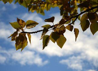 poplar_autumn