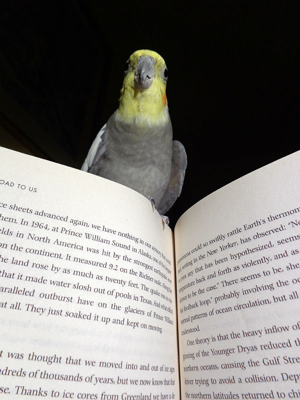 Cockatiel perched on a book